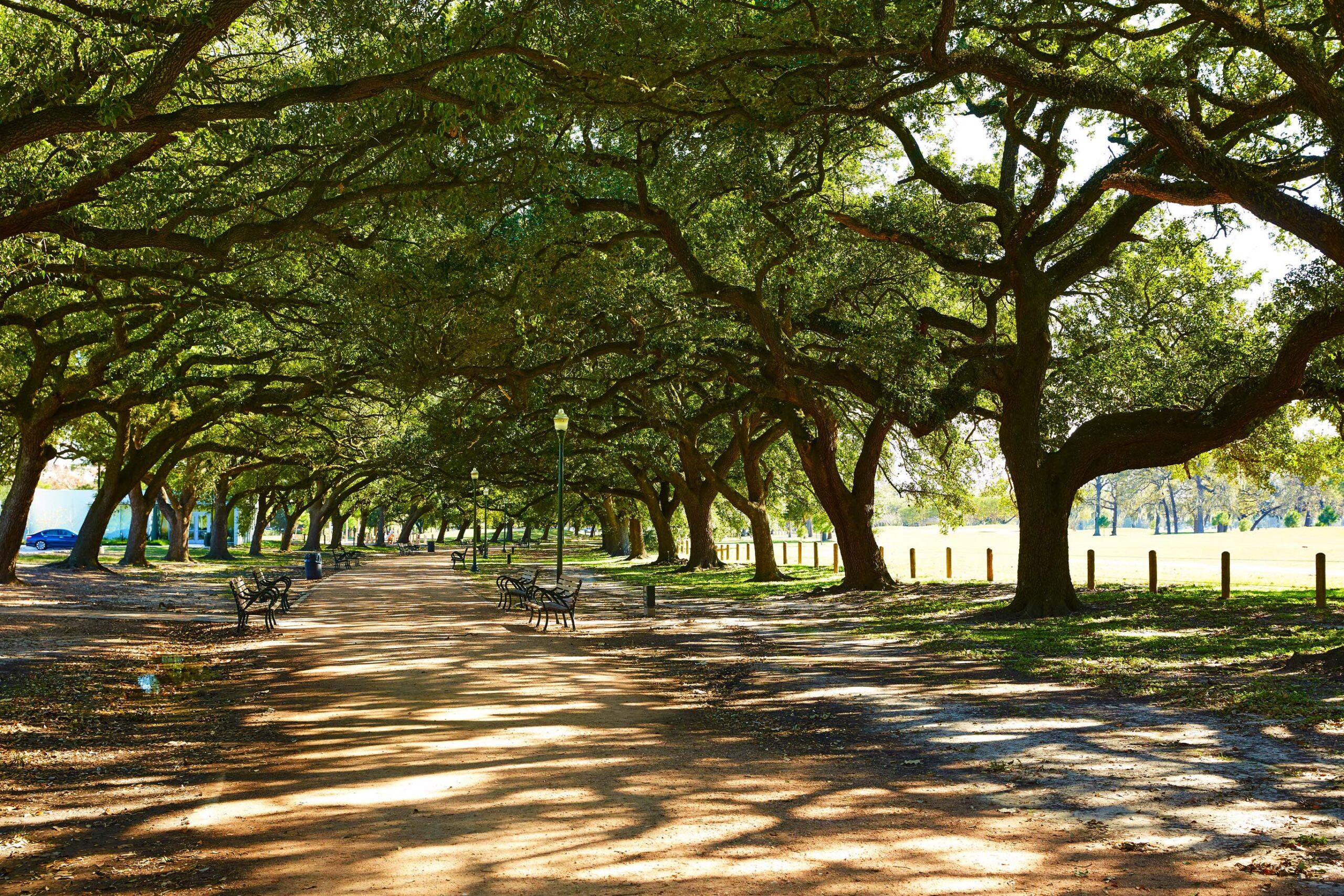 Shady avenue of oaks
